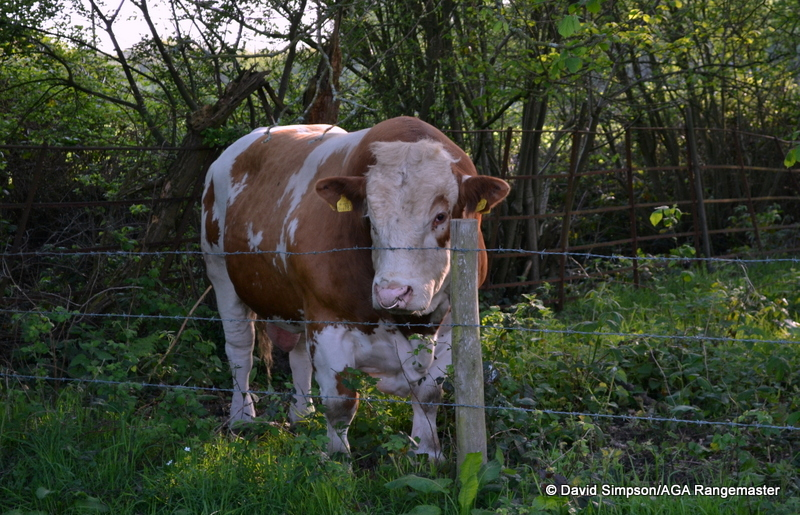 The resident bull, who seemed very unimpressed that his field had been turned into a lorry park!